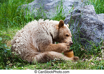 Kermode Spirit Bear Eating Honey - A hungry white Kermode or...
