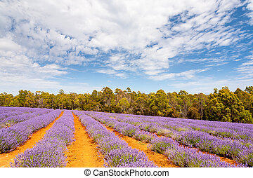 Lavender farm in Tasmania - Beautiful Lavender farm in...