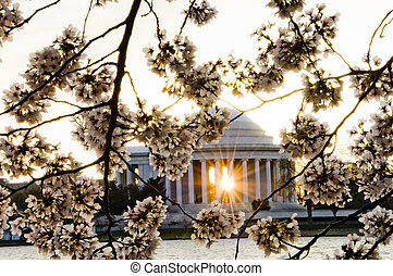 Cherry blossoms and Jefferson Memorial - a rising sun shones...