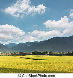 golden paddy rice farm - Rural scenery with golden paddy...