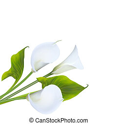Calla lily.  illustration.