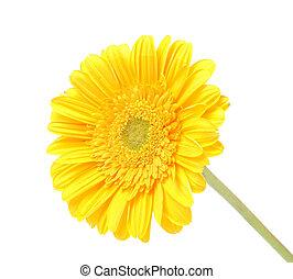 Transvaal daisy          - Transvaal daisy