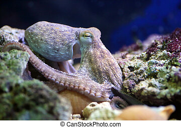 Common octopus resting on a reef - A common octopus, Octopus...