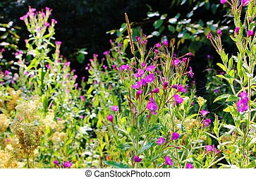Great Willowherb - Close-up image of Great Willowherb...