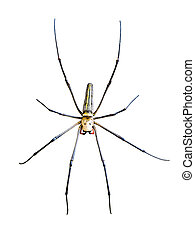 Golden Orb Spider Nephila pilipes isolated on white...