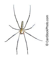 Golden Orb Spider (Nephila pilipes) isolated on white...