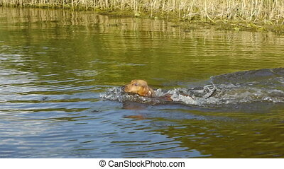 HD - Funny dog Dashshund swims for his wand