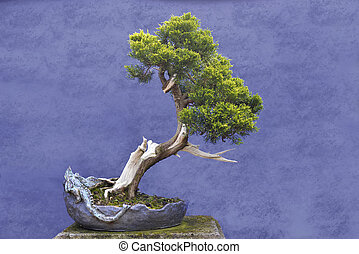 Bonsai tree Juniper China (Juniperus chinensis) in unique...