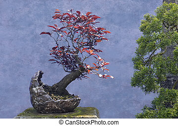 Bonsai tree red Plum Prunus cerasifera var pissardii