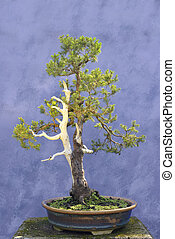 Bonsai tree European spruce (Picea abies) wire branches