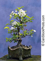 Bonsai tree apple tree  (Malus domestica) blossoming