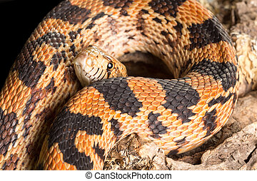Snake body and head - Adult bullsnake showing its body and...