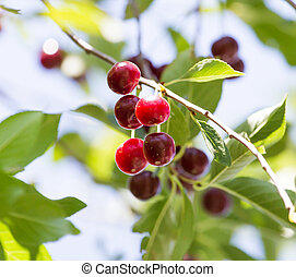 ripe cherries on the tree
