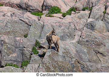 A mountain goat on the side of a hill at Korkeasaari,...