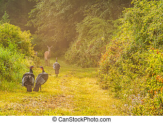 Wild Turkey (Meleagris gallopavo) - Whitetail deer does and...