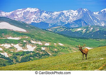 Lonely Elk Alpine Meadow - Lonely Elk on the Alpine Meadow...