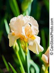 Yellowish Iris Flower Closeup Photo.