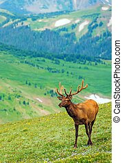 Elk on the Mountain Meadow Vertical Photo. North American...