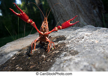 Red swamp crawfish - Portrait of procambarus clarkii, a...