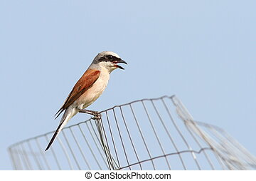 lanius collurio on abandoned wire fence - male lanius...