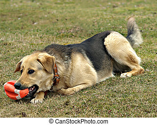 Dog with a toy rugby ball