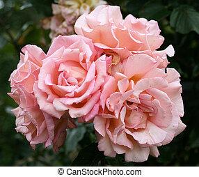 Cor-de-rosa, rosas, 2