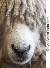 Sheep#2 - Close up of sheeps nose with wool covering its...