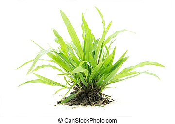 Bush of green grass from meadow isolated on white background
