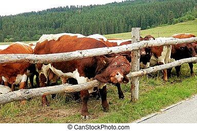 Big bull in the pasture