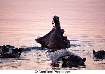 hipopótamo, Bostezo