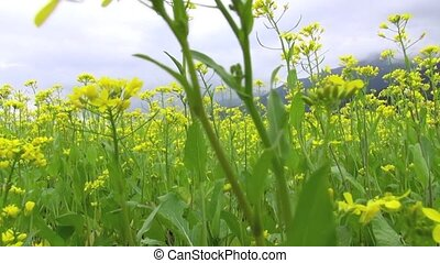 walking through the Yellow rape fie