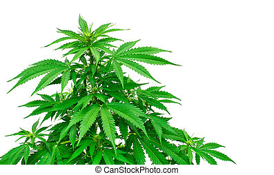 Detail of marijuana plant - Young marijuana plant isolated...