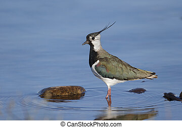 Northern lapwing, Vanellus vanellus, Single bird in water,...