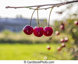 high key bunch of shiny red three cherries on a branch