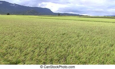 close up rice field and wind