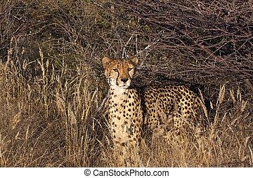 Cheetah in the veld