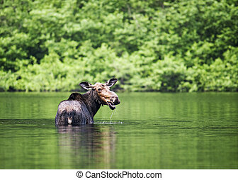 female moose mammal B - female moose mammal in a river while...