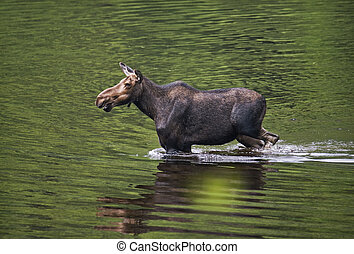 female moose mammal C