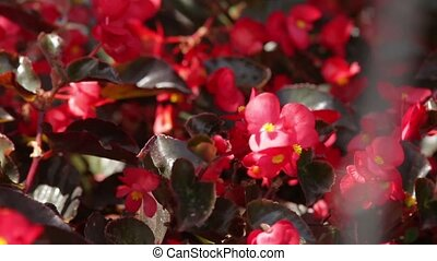red roses - a bush of red colors is in focus and...