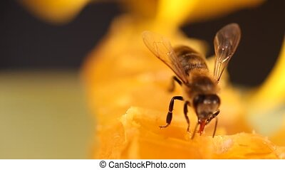 Bee gathering honey and nectar with proboscis Close up macro...