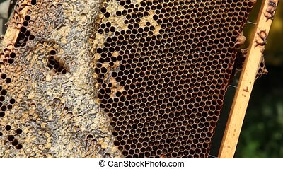 Bees on honeycomb with honey and brood