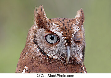 Eastern Screech-Owl (Megascops asio) Winking - Close-up of...