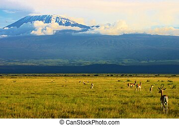 Gazelle and Kilimanjaro - Gazelle grazing in front of...