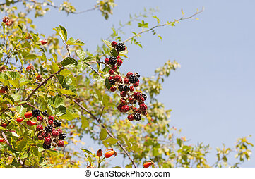 Elmleaf blackberry, Ulmus ulmifolius - Leaves and fruits of...