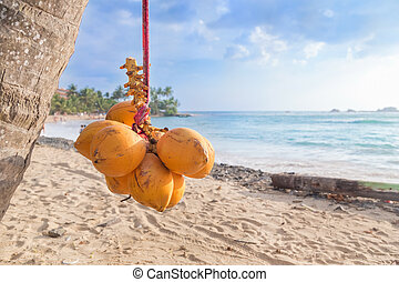 Cluster of king coconut hanging from palm tree with beautiful sandy beach in background.