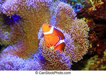 Ocellaris clownfish or Common clownfish or False percula...