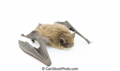 Bat on white - Closeup view of whole small bat on white (5D...