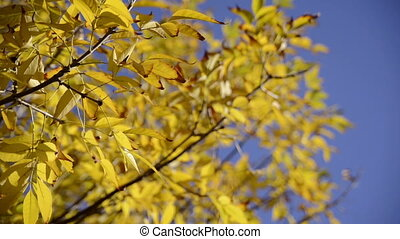 Close up autumn leaves over blue sk - Warm colors moving...