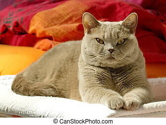 Lilac british shorthair