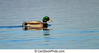 Male mallard or wild duck, anas platyrhynchos